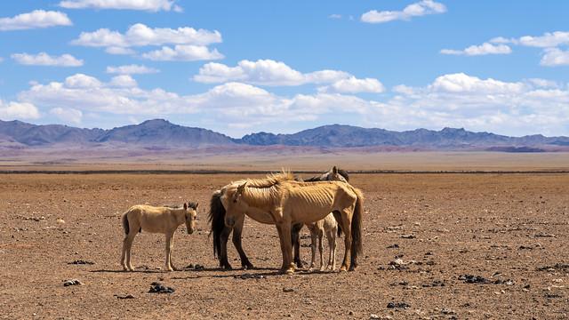 Mongolian Horses 1a