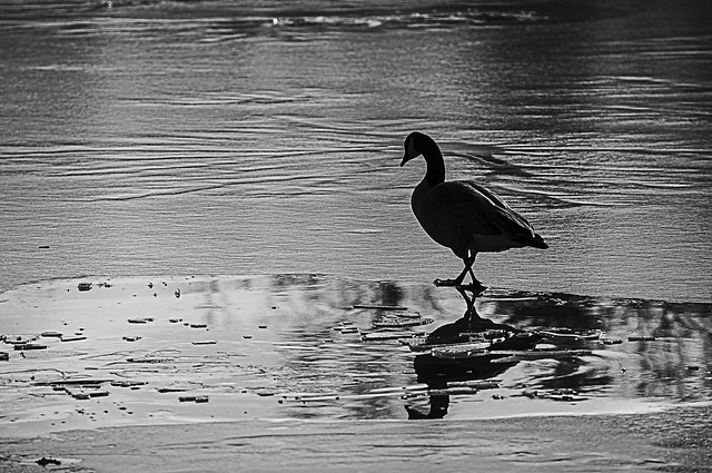 Goose Reflected in Melting Ice on Frozen Lake