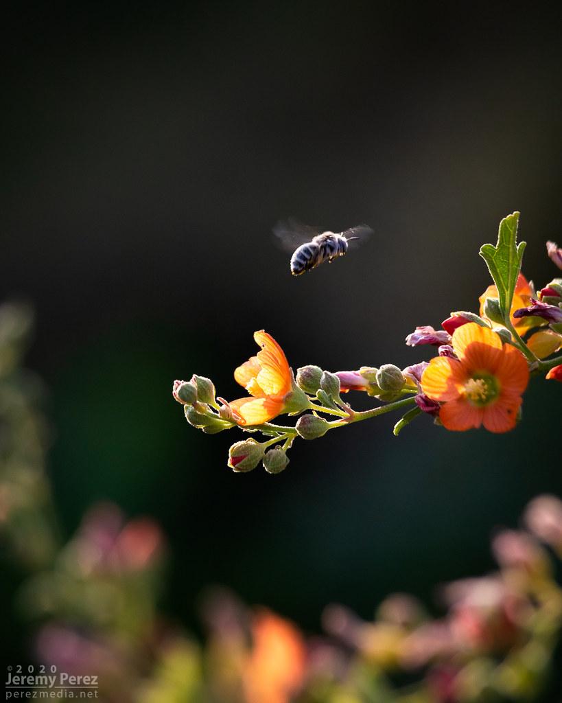 18 September 2020 — Flagstaff, Arizona — Glob Mallow Bee