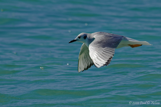_DSC6409_Laughing Gull, Navarre Beach, Florida