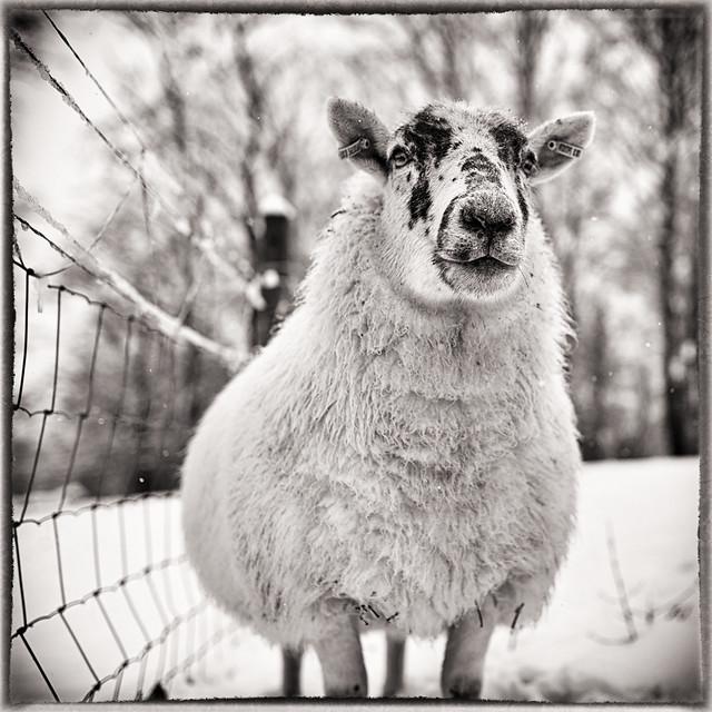 Pathfoot Sheep [Explored]
