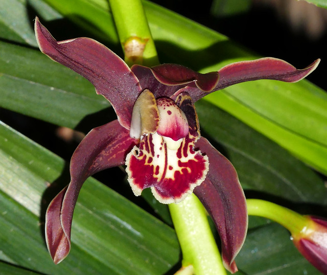 Cymbidium Pywacket 'Wild Thing'  1-2 hybrid orchid