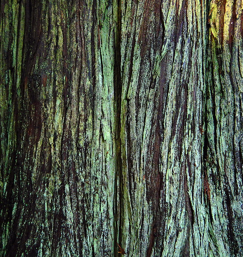 Close-up of the distinctive linear bark of a cedar tree covered with green lichen
