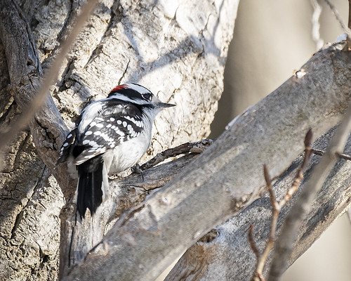 Woodpecker | by Chris McPhee