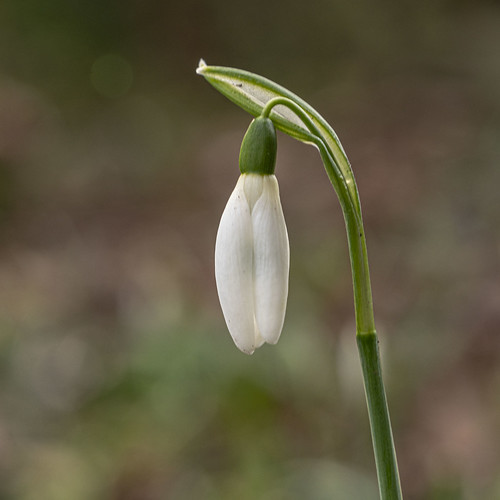 first snowdrop of 2021 (kasia_ociepa)