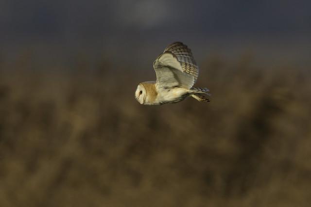 Barn Owl flypast