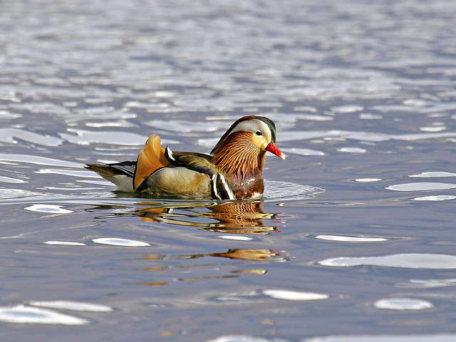 Aix galericulata /Anatra mandarina /Mandarin duck