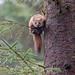 Pine Marten: