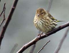 Pine Siskin - Carduelis pinus - Chilliwack - Jan 14-21