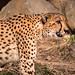 A Stalking Cheetah 3-0 F LR 2-3-20 J064