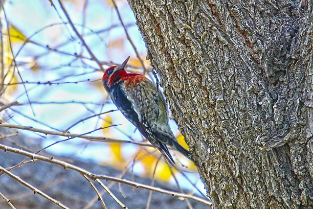 Red-breasted sapsucker.