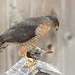 Cooper's Hawk (January 15, 2021 )73399-Edit.jpg
