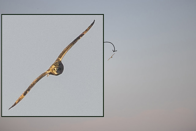 Full Frame and Cropped - Short-eared Owl....CE1A0611CR3A