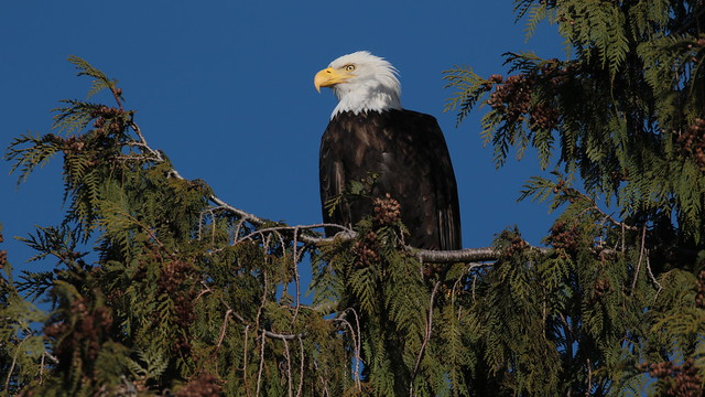 Bald Eagle On A Cedar Bough