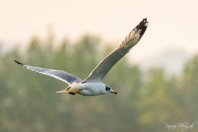 Palla's Gull (PB2_3406)