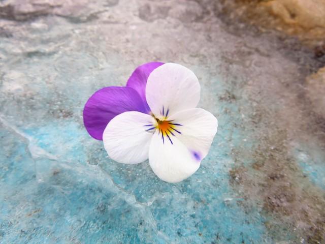 Blüte auf Eis