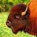 Texas Bison