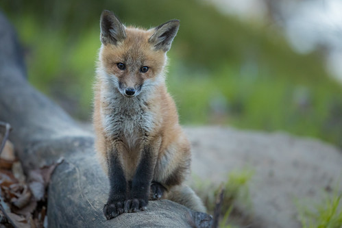 Red Fox kit, from summer 2020 | by dwb838