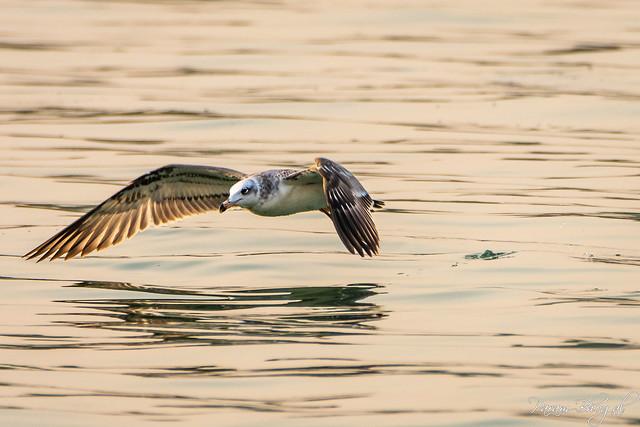 Palla's Gull Immature (PB2_3412)