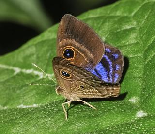 Purple-washed Eyemark - Mesosemia lamachus (Riodinidae, Riodininae, Mesosemiini) 111p-0223