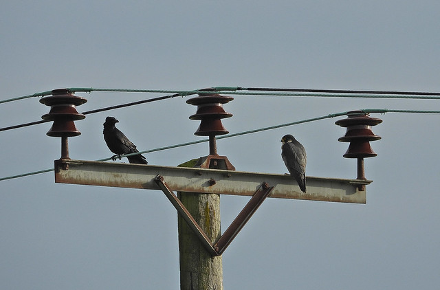 Peregrine Falcon and Carrion Crow, LSCf, Jan 15 2021, P1 (20)