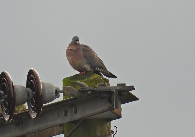 Woodpigeon, LSCf, Jan 15 2021, P1