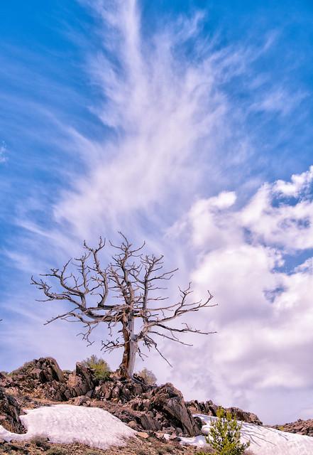 Lone Dead Pine