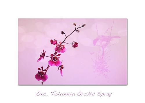 Onc. Tolumnia Orchid Spray