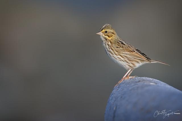 Savannah Sparrow on High Heels