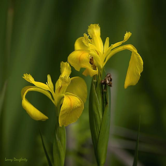 Wild Iris in the swamp....D800