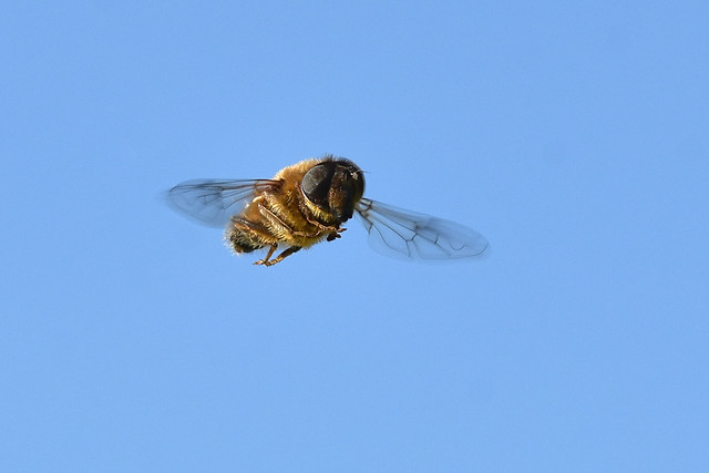 Eristalis pertinax ... Tapered Drone Fly