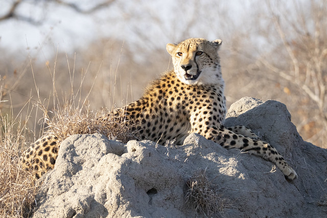 this termite mound is just so comfortable. Cheetah loves his look-out point. Elephant Plains Game Lodge, Sabi Sands Game Reserve, Kruger National Park, South Africa.