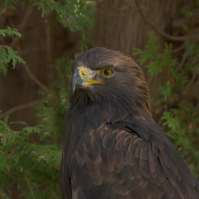 Golden eagle - this photo was taken at a recent trip to the CRC