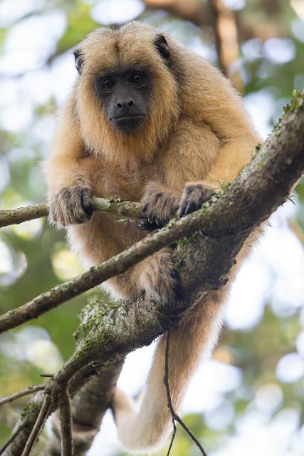 Black and Gold Howler Monkey - Alouatta caraya