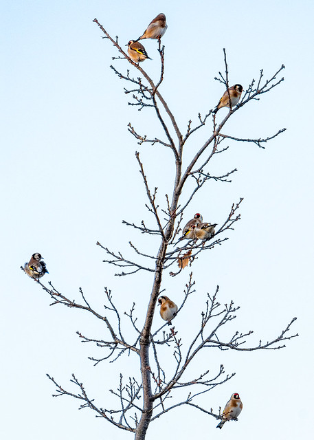 Goldfinch Tree