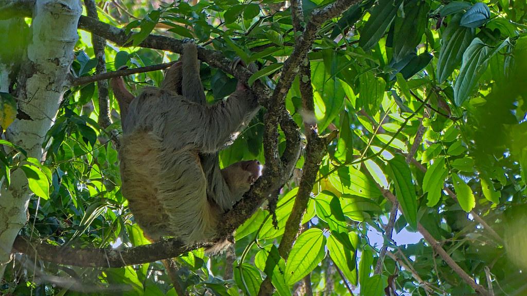 08 Paresseux à gorge brune - Bradypus variegatus 1