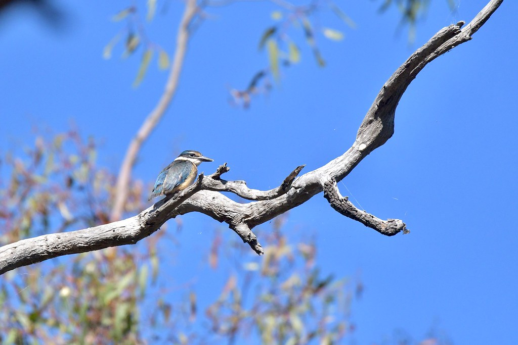 Sacred Kingfisher ( One young out of the nest and waiting on the next meal )