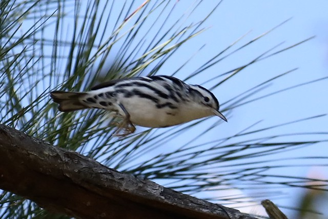 Black-and-white Warbler -a- 210115