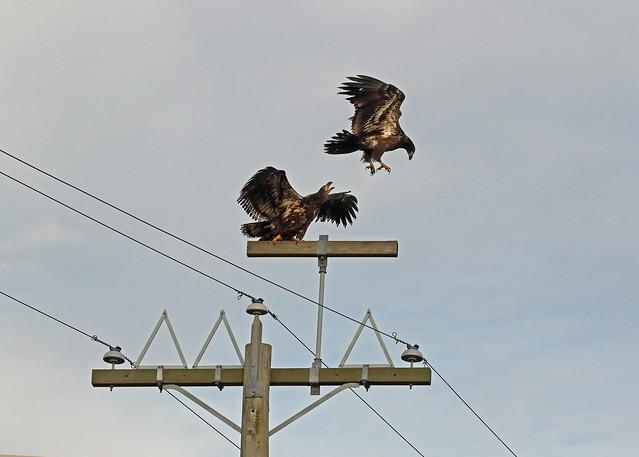 Bald Eagle Squabble - 094A4414a1c