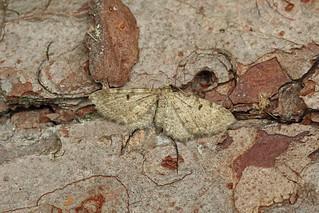 70.175 Triple-spotted Pug (Eupithecia trisignaria), Morton Lochs, Fife