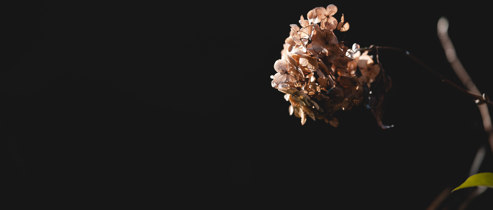 withered hydrangea