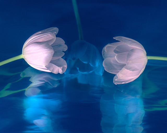 Three Pink Tulips Two in Front One Behind and Blue Reflections 2
