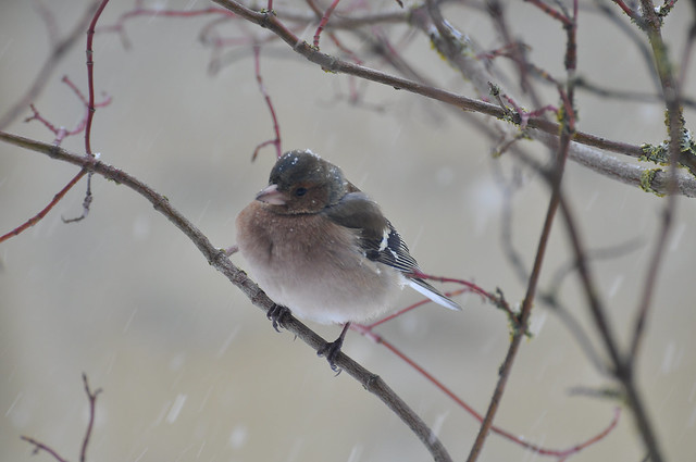 Chaffinch n the blizzard
