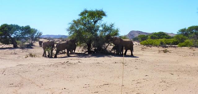 Namibia:  Desert Adapted Elephants in Damaraland