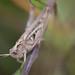 Criquet de Jago (Dociostaurus jagoi)