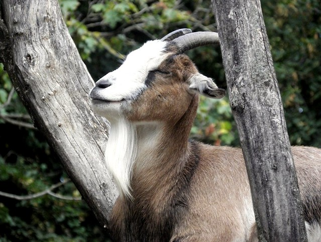 Thuringian goat