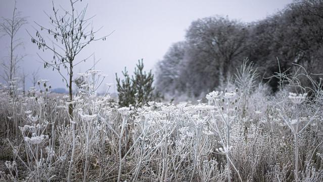 more frozen umbelliferae