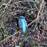 Kingfisher, Lancaster Canal