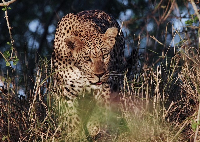 Leopard Emerging From the Shadows (Panthera pardus)