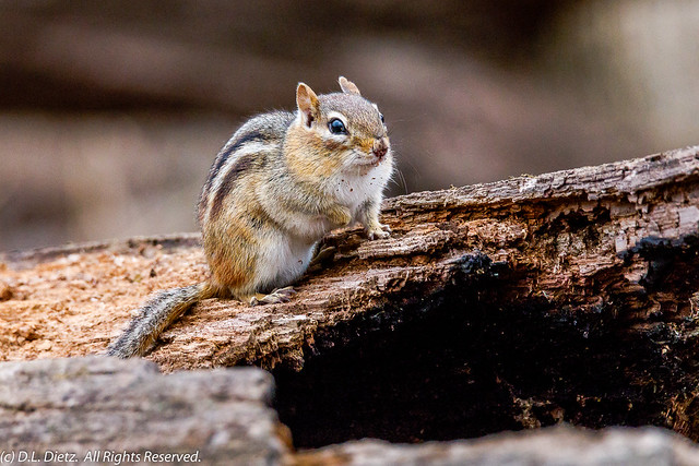 Eastern Chipmunk #5 - 2020-03-14